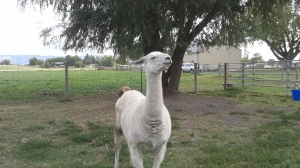 Guard llama preparing to defend the girls and babies